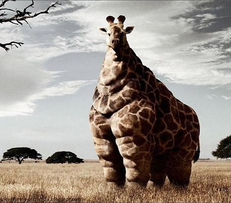 girafa_gorda