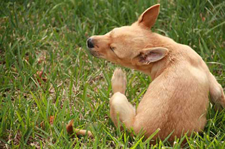 scratching-dog-fleas