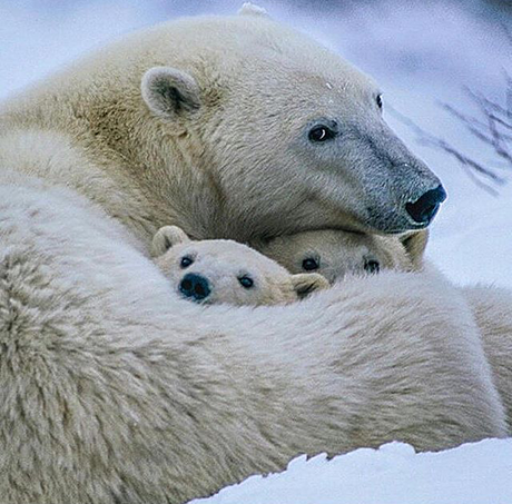 UrsoPolar_filhotinhos